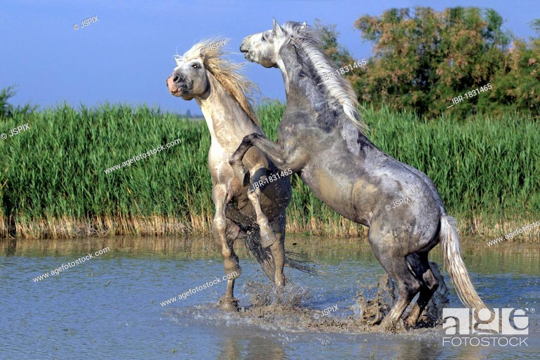 Stock Photo: Camargue horses (Equus caballus) stallions fighting in water, Saintes-Marie-de-la-Mer, Camargue, France, Europe.