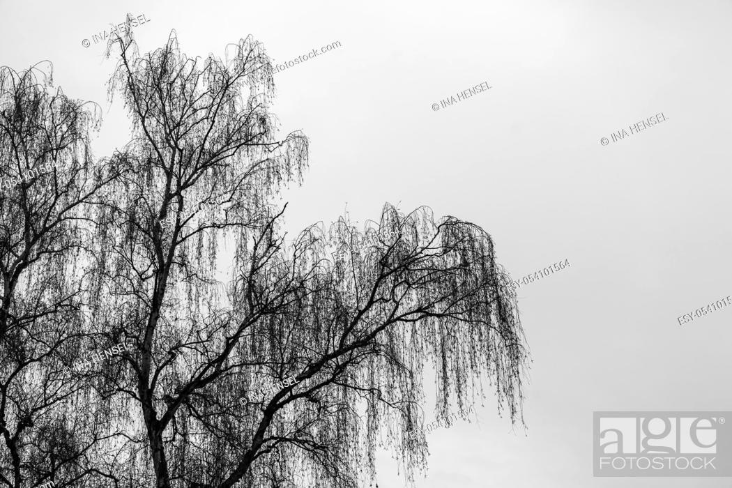 Stock Photo: Black and white moody picture of a birch (betula pendula) in winter with blank space for text.