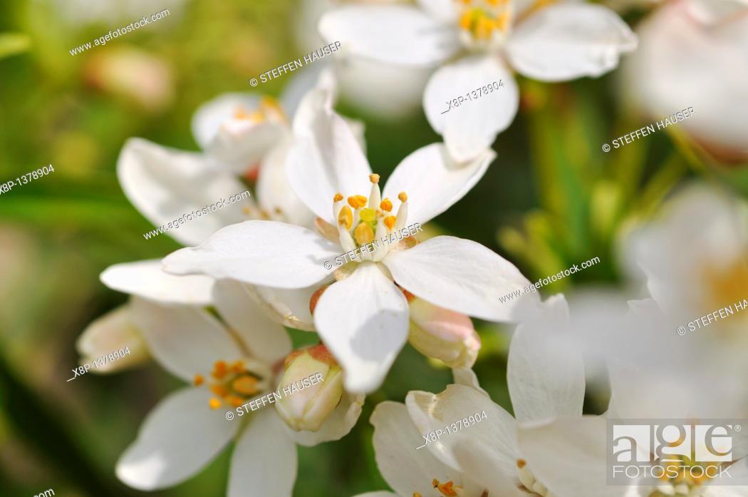 Stock Photo: Mexican orange blossom Choisya ternata.