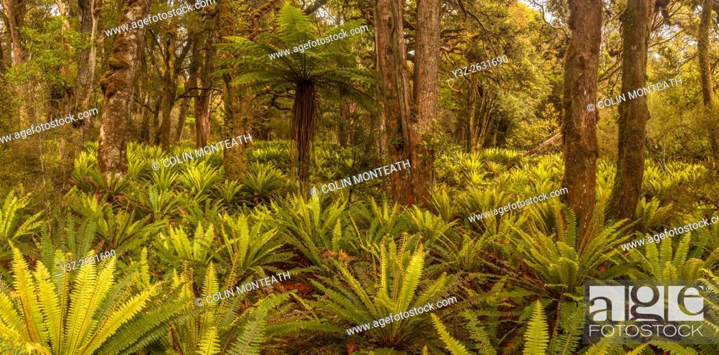 Imagen: Crown ferns and tree fern, , panorama under podocarp forest canopy, Rakeahua, Stewart Island, rakiura.