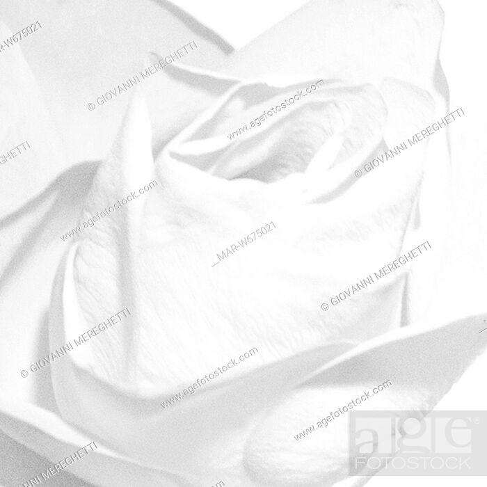 Stock Photo: rosa.