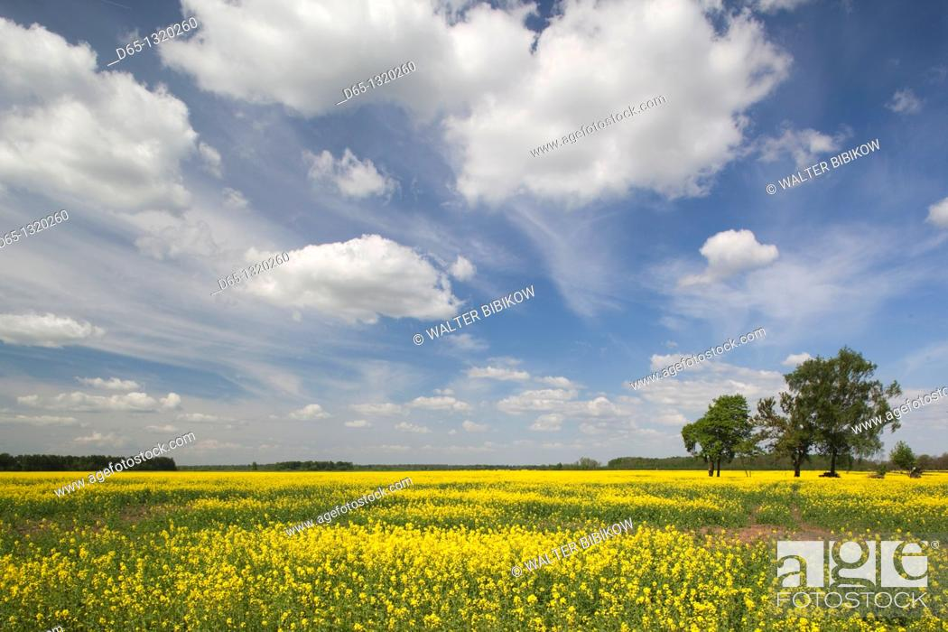 Stock Photo: Lithuania, Central Lithuania, Joniskis, field of mustard flowers in springtime.