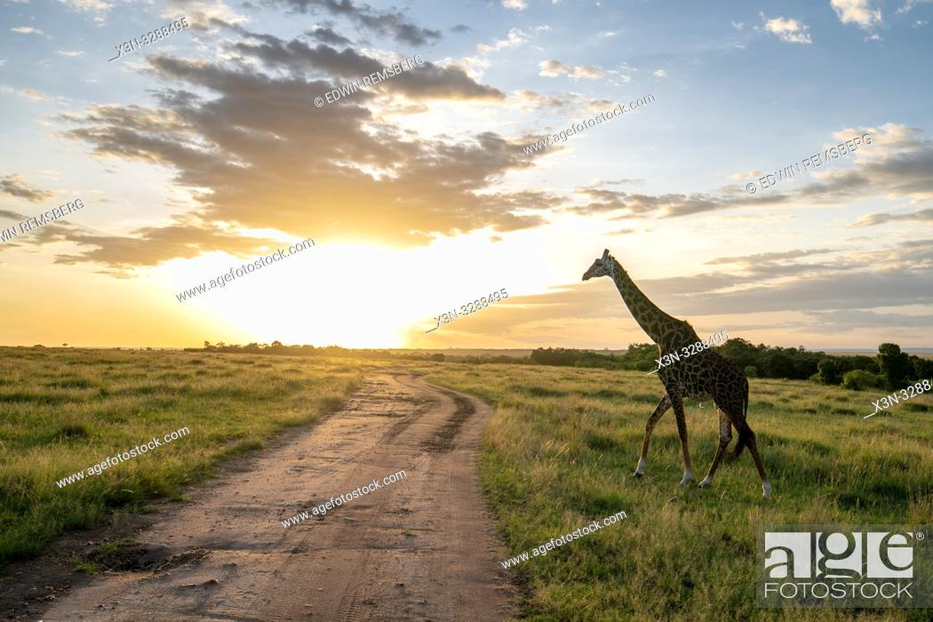 Photo de stock: Masai giraffe (Giraffa camelopardalis tippelskirchii) in a field with sun behind it in Maasai Mara National Reserve, Kenya.