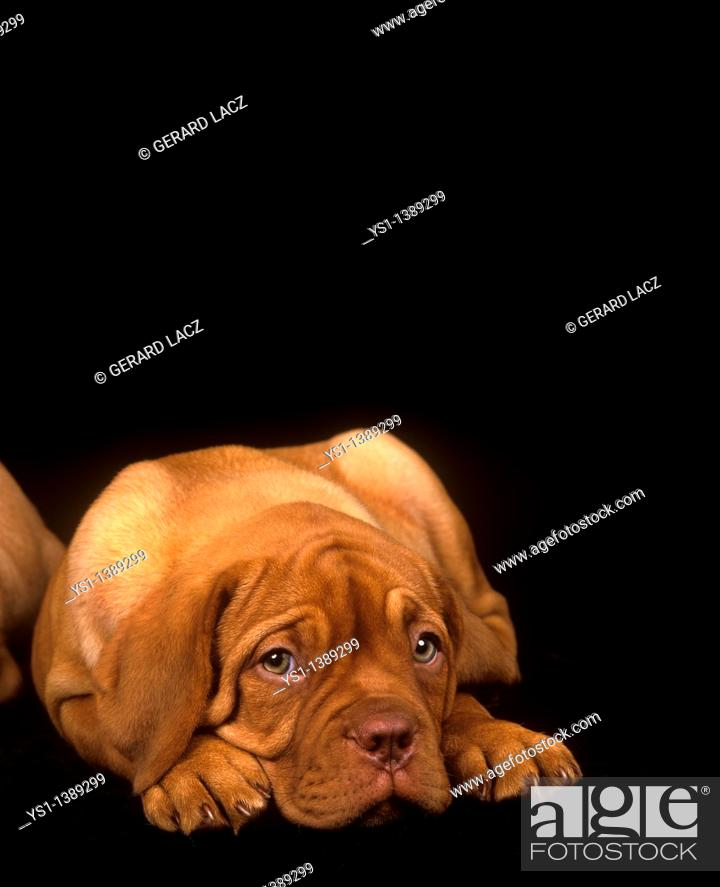 Stock Photo: Bordeaux Mastiff Dog, Pup Laying down against Black Background.