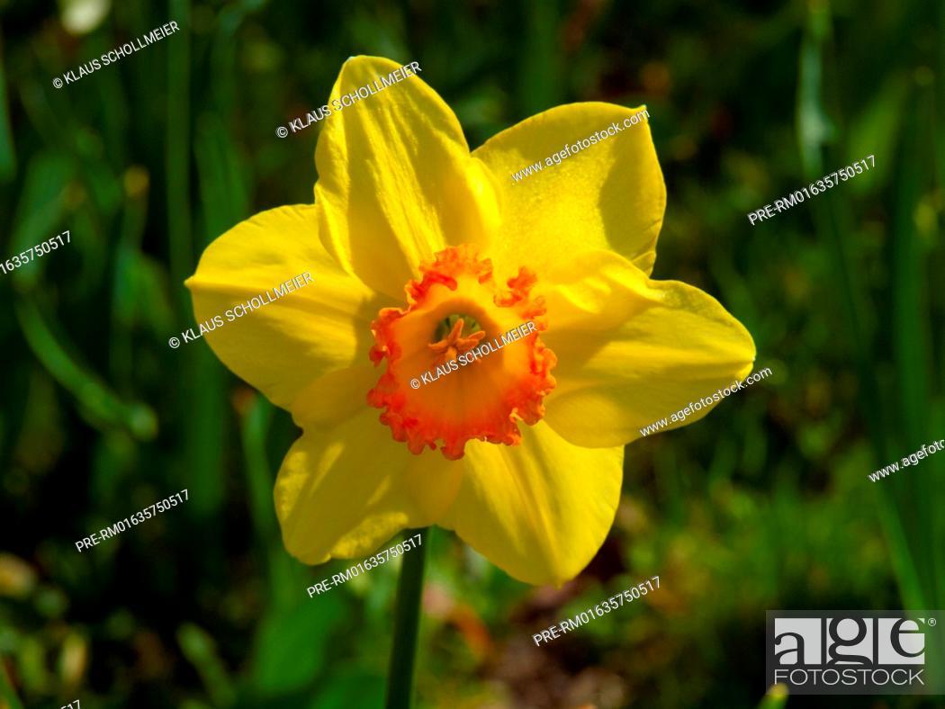 Stock Photo: Daffodil, Narcissus pseudonarcissus / Osterglocke, Narcissus pseudonarcissus.