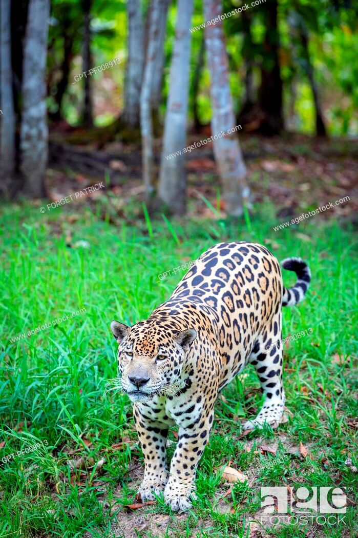 Stock Photo: SPOTTED MALE JAGUAR, ZOO OF GUIANA, MACOURIA, FRENCH GUIANA, OVERSEAS DEPARTMENT, SOUTH AMERICA, FRANCE.