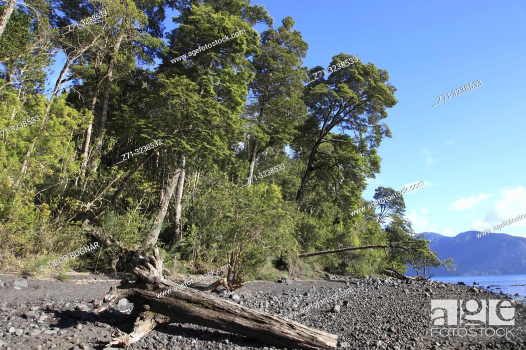 Imagen: Chile, Lake District, Petrohue, forest, trees, .