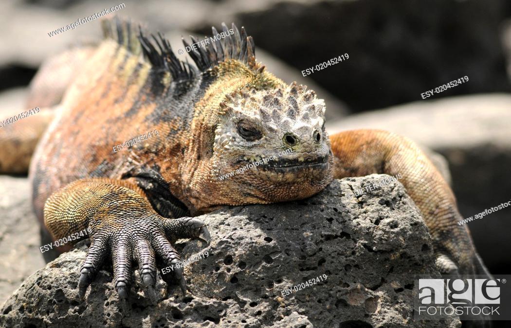 Stock Photo: Galapagos Meerechse ruht.