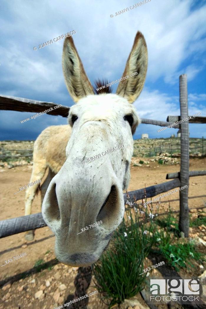 Stock Photo: Donkey. Cabo de Gata-Nijar Biosphere Reserve, Almeria province, Andalucia, Spain.