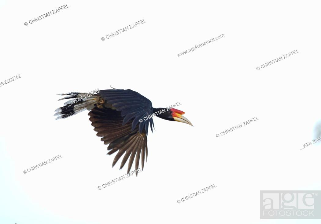 Malaysia Borneo Sabah Kinabatangan River Flying Rhinoceros Hornbill Buceros Rhinoceros Stock Photo Picture And Royalty Free Image Pic Wes Zc00762 Agefotostock