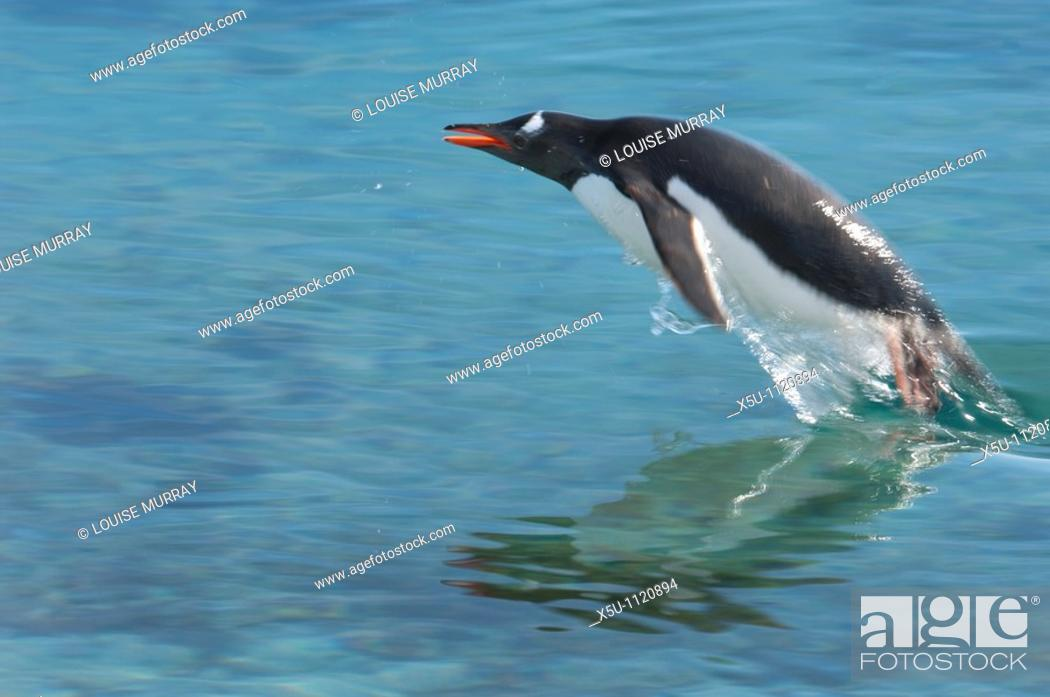 Stock Photo: Adelie penguin porpoising in the air Antarctic peninsula Pleneau Island.