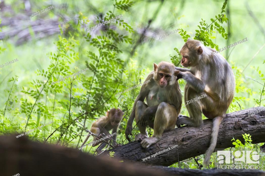 Stock Photo: Rhesus Monkey (Macaca mulatta), family group grooming. Keoladeo National Park. Bharatpur. Rajasthan. India.