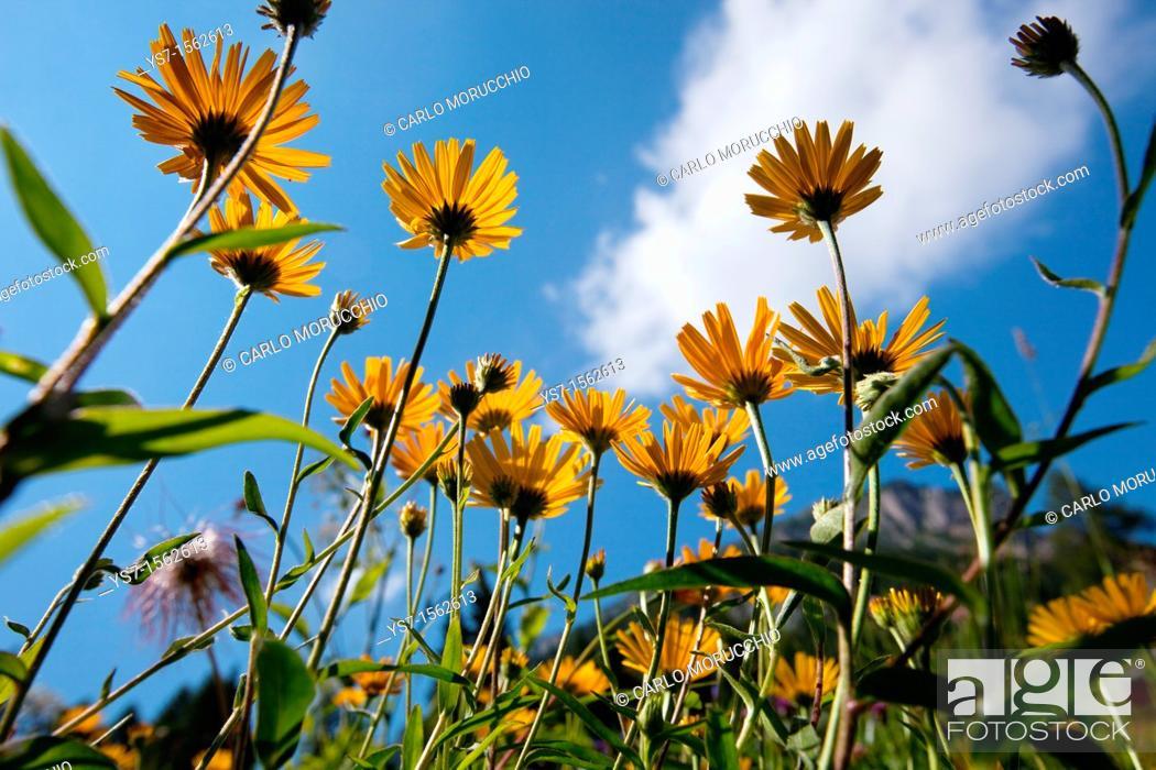 Stock Photo: Buphthalmum salicifolium, yellow oxeye daisy in an alpine meadow, Dolomites, Belluno province, Italy, Europe.