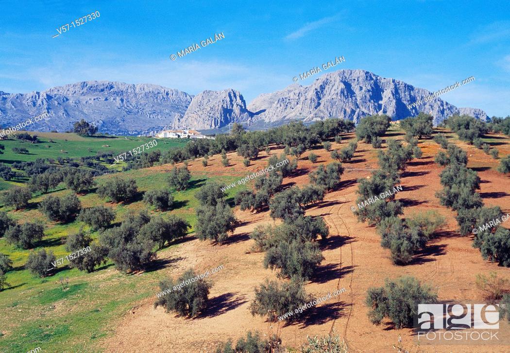 Stock Photo: Olive grove and mountain. La Axarquía, Málaga province, Andalucía, Spain.