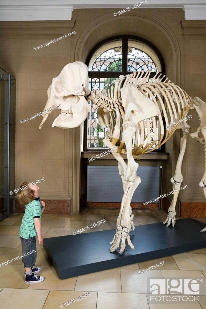 Stock Photo: Boy looking at an elephant skeleton.