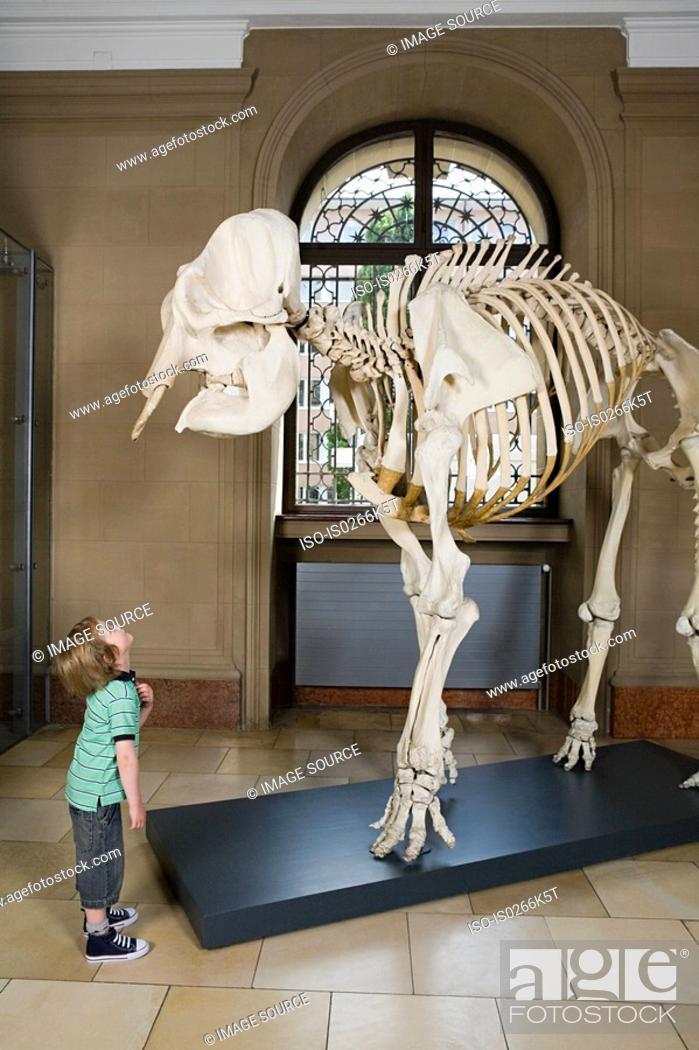 Stock Photo: Boy looking at an elephant skeleton.