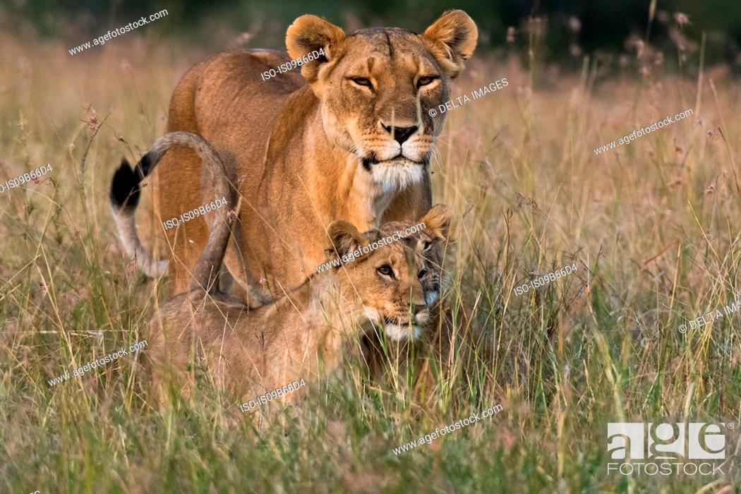 Stock Photo: Lioness and cubs (Panthera leo), Masai Mara, Kenya, Africa.
