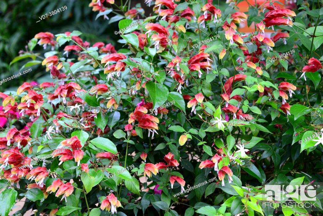 Imagen: Mexican shrimp plant (Justicia brandegeeana) is an ornamental evergreen shrub native to Mexico.