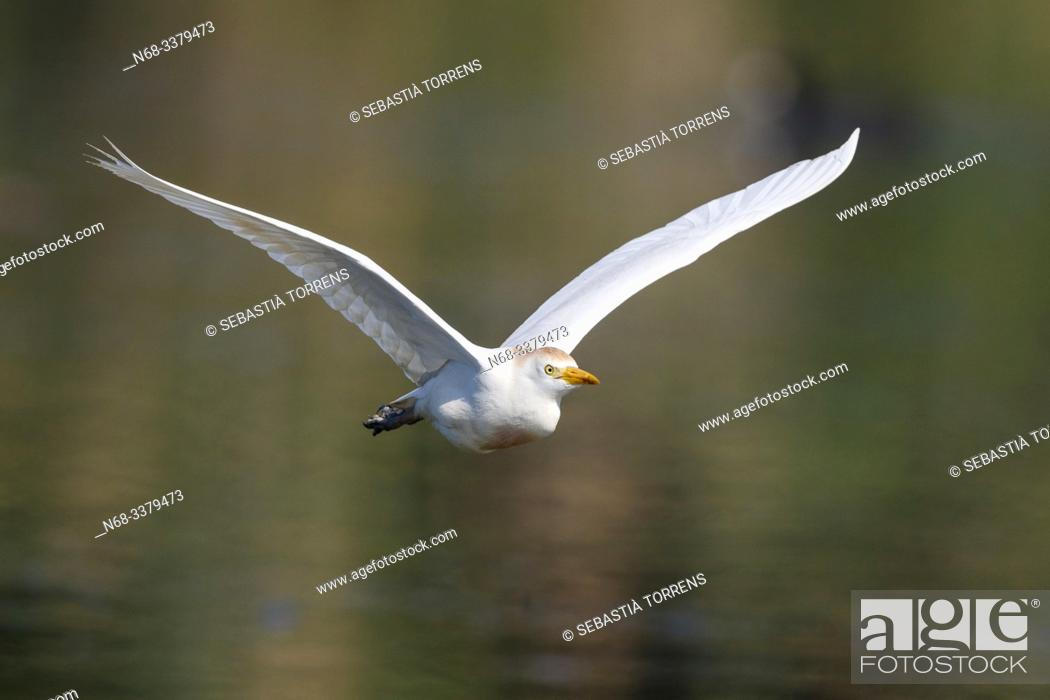 Stock Photo: Cattle egret (Bubulcus ibis) in flight, S'Albufera, Majorca, Spain.