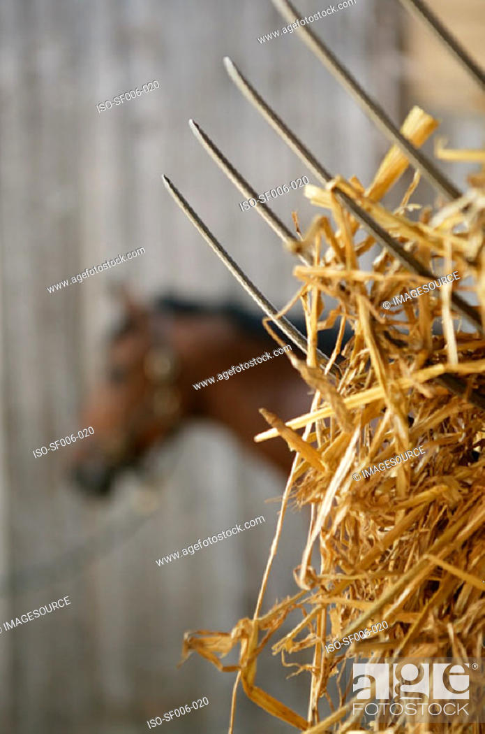 Stock Photo: Hay on a pitchfork in front of a horse.