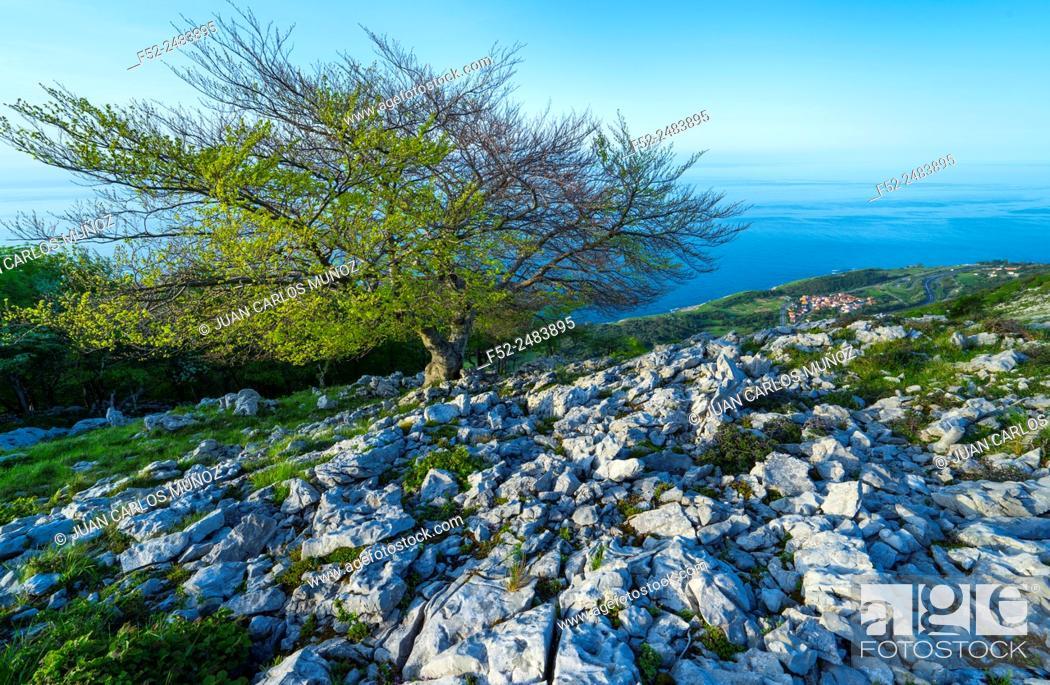 Stock Photo: Beech, Cerredo Mountain, Cantabrian Sea, Castro Urdiales, Cantabria, Spain, Europe.