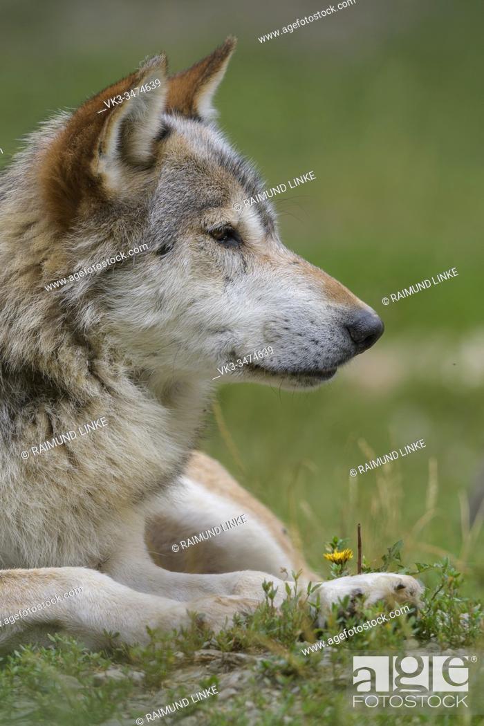 Photo de stock: Wolf, Canis lupus.