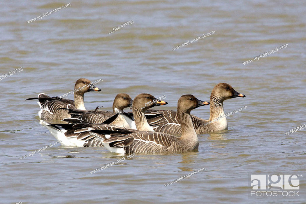 Stock Photo: Bean Goose (Anser fabalis).