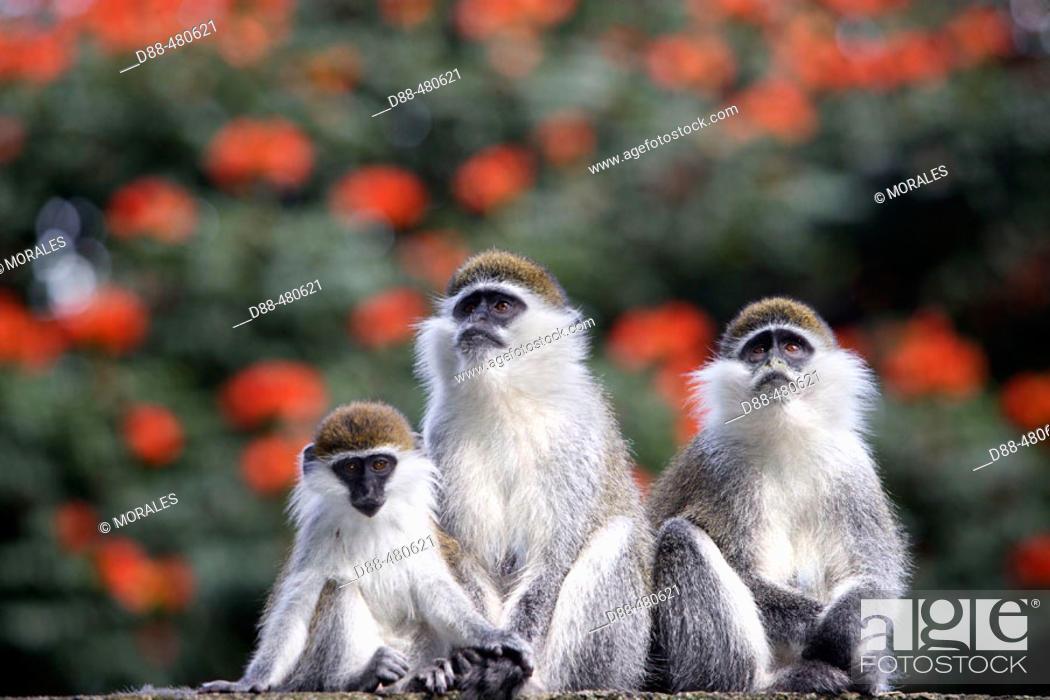 Stock Photo: Vervet Monkey (Cercopithecus aethiops).