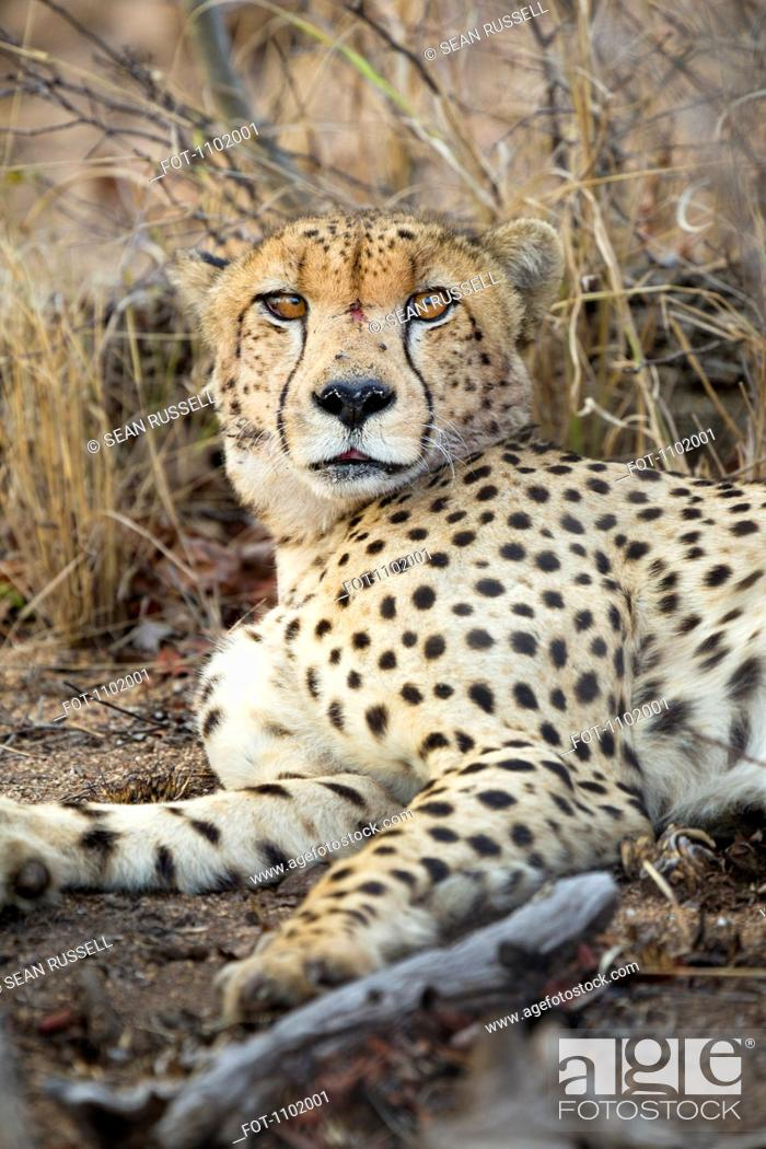 Stock Photo: A cheetah lying down, looking at camera.