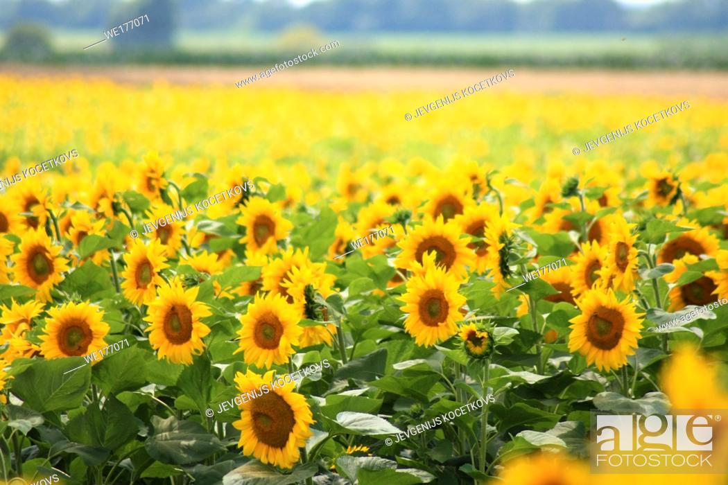 Imagen: Field of sunflowers. Composition of nature. Agricultural field.
