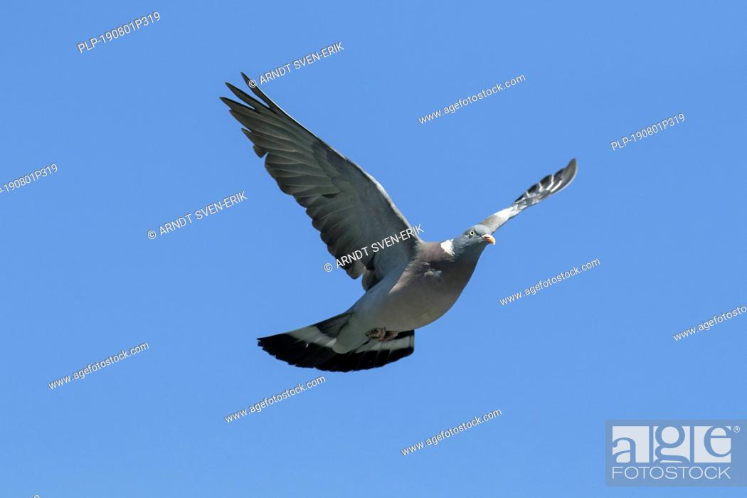 Imagen: Common wood pigeon (Columba palumbus) in flight against blue sky.