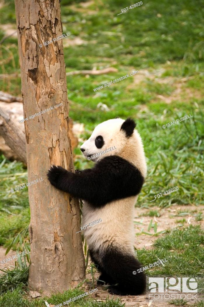 Stock Photo: A panda standing against a tree.