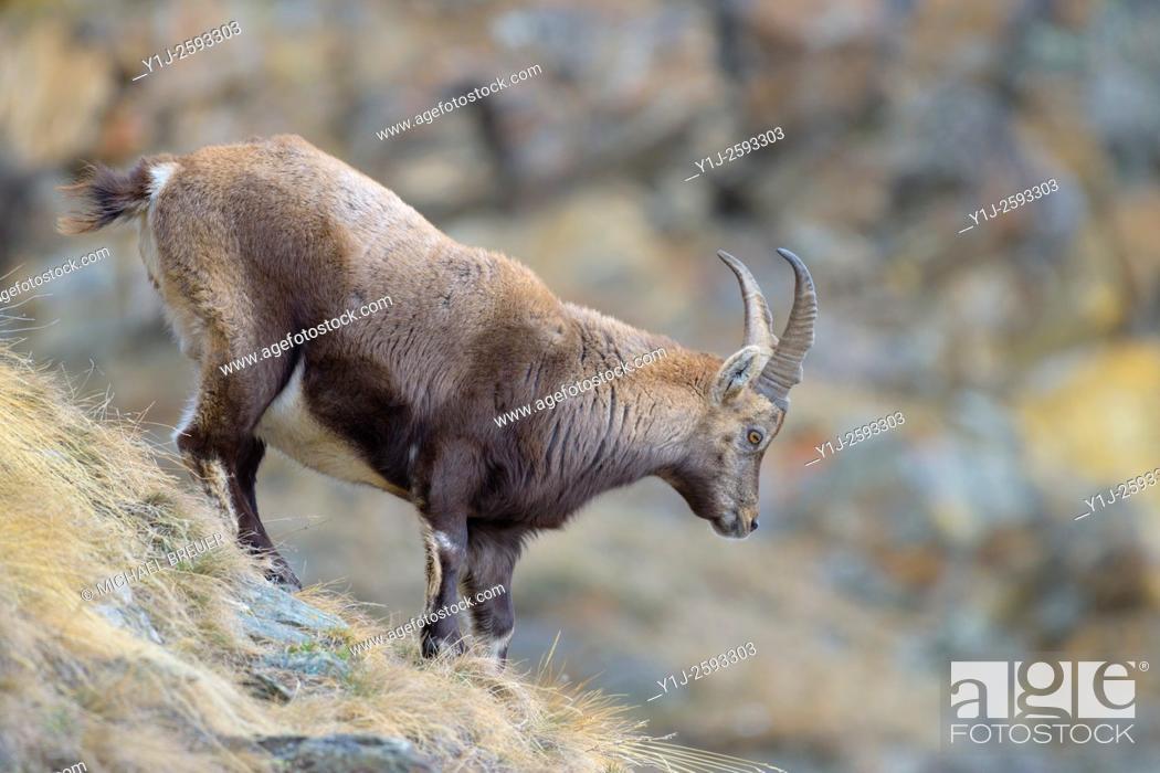 Imagen: Alpine Ibex (Capra ibex), Female, Gran Paradiso National Park, Alps, Italy, Europe.