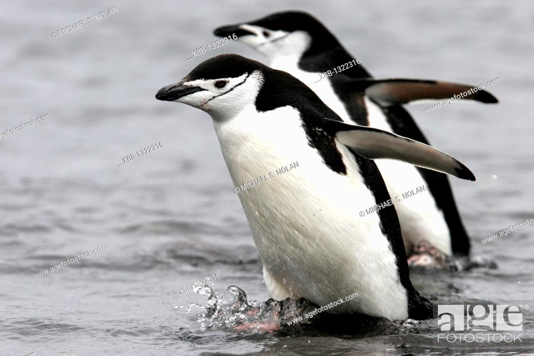Stock Photo: Adult chinstrap penguin Pygoscelis antarctica returnig from the sea to feed their chicks in the Aitcho Island Group near the Antarctic Peninsula.
