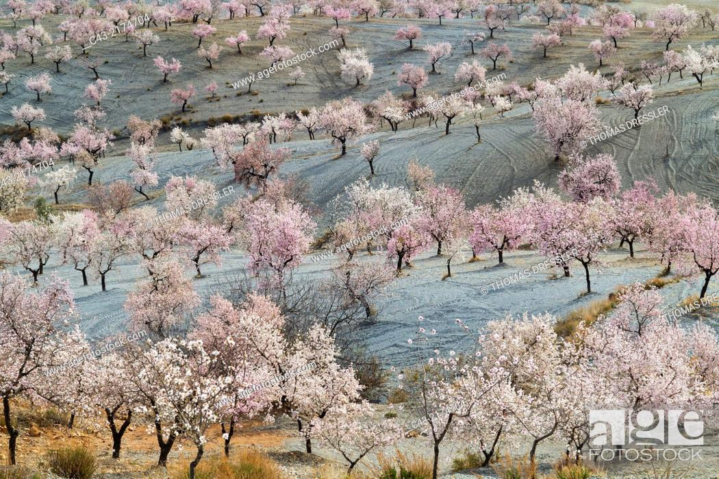 Imagen: Cultivated almond trees (Prunus dulcis) in full blossom in February. Almería province, Andalusia, Spain.