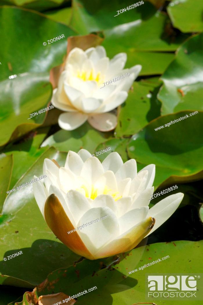Stock Photo: Nymphaea alba, Weiߟe Seerose, White waterlily.