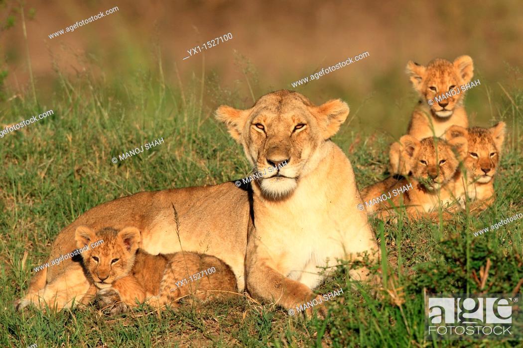 Stock Photo: Lioness and cubs, Masai Mara Natonal Reserve, Kenya.
