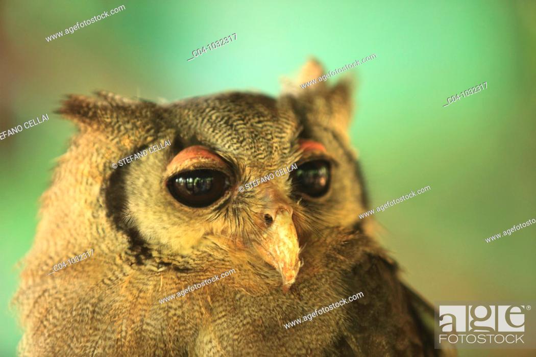 Stock Photo: Owl, Zoo park, Malindi, Kenya.