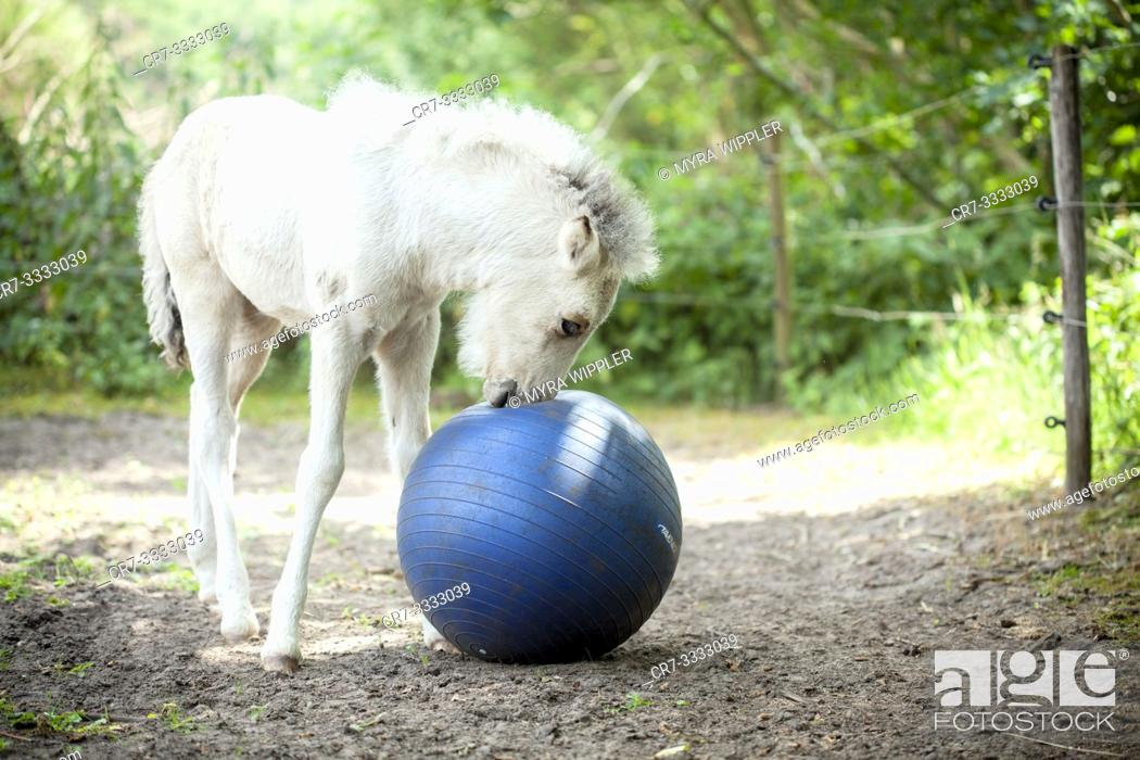 Photo de stock: Young icelandic horse foal playing with a big blue ball.