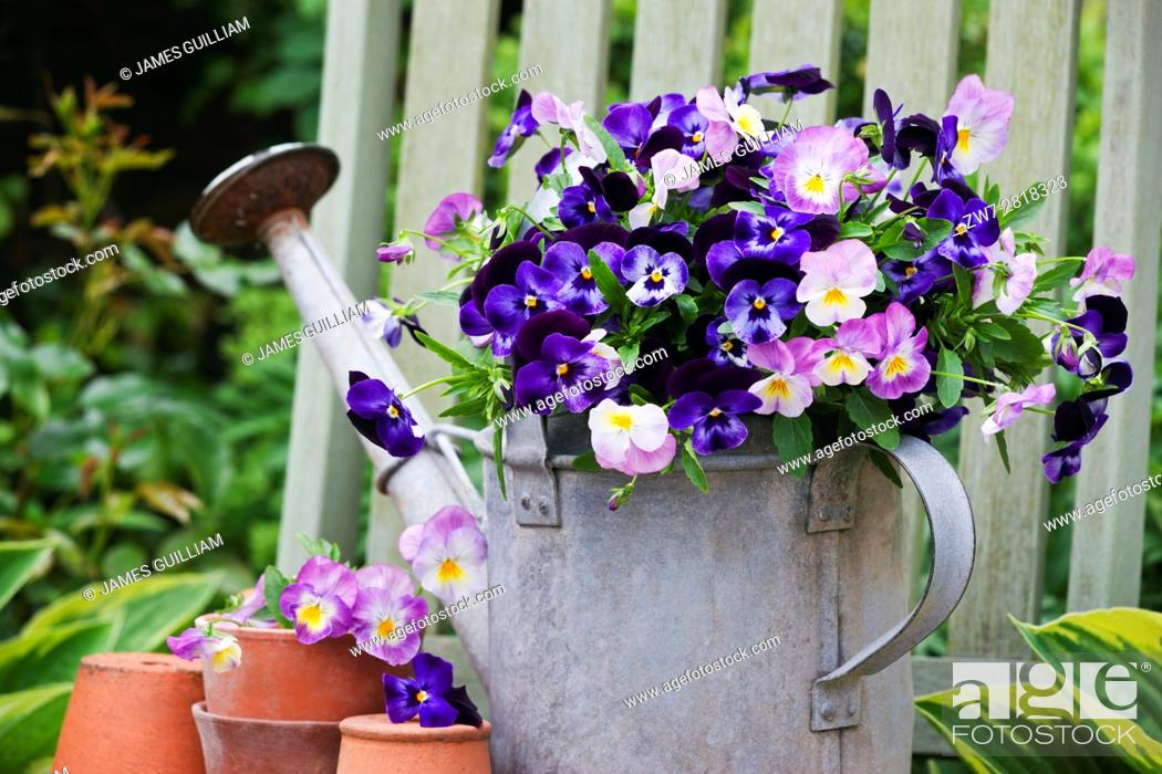 Stock Photo: Viola flowers in vintage metal watering can.