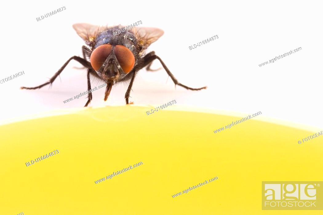Stock Photo: candy, animal, calliphora, blue, animals, alfred.