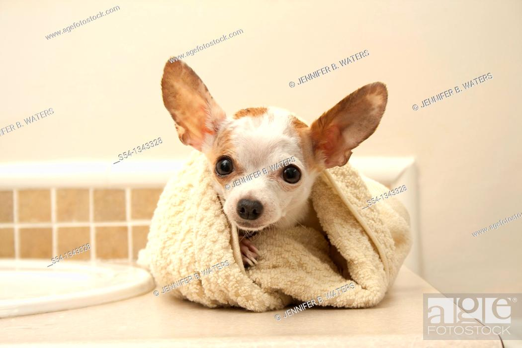 Stock Photo: A white chihuahua wrapped in a towel after her bath.