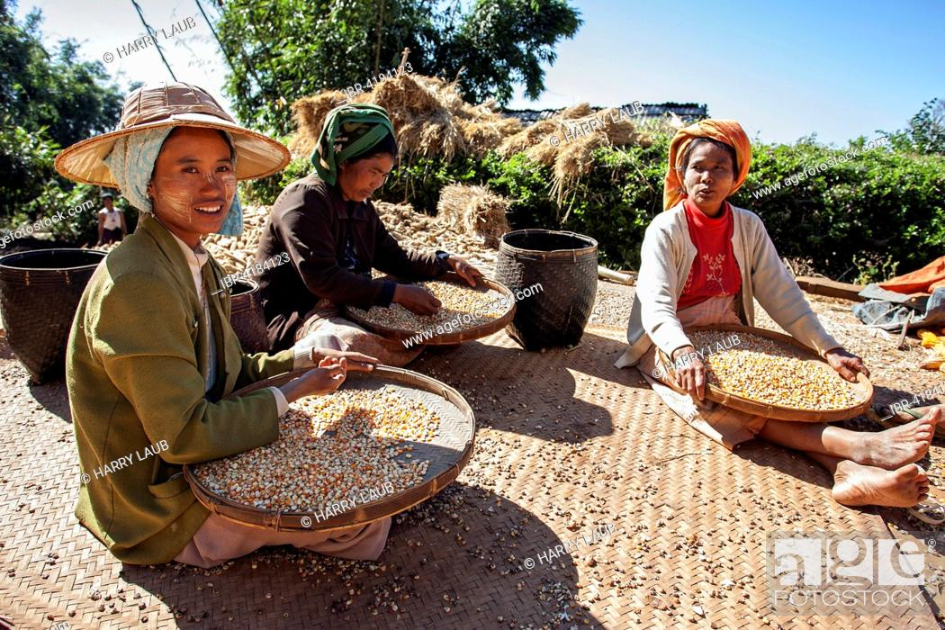 Stock Photo: Local women from the tribe of the Pao sorting maize grains, near Heho, Shan State, Myanmar.