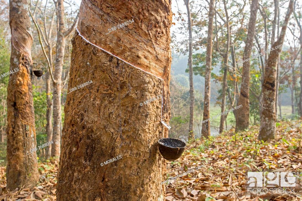 South east Asia, India,Tripura state,harvesting latex from