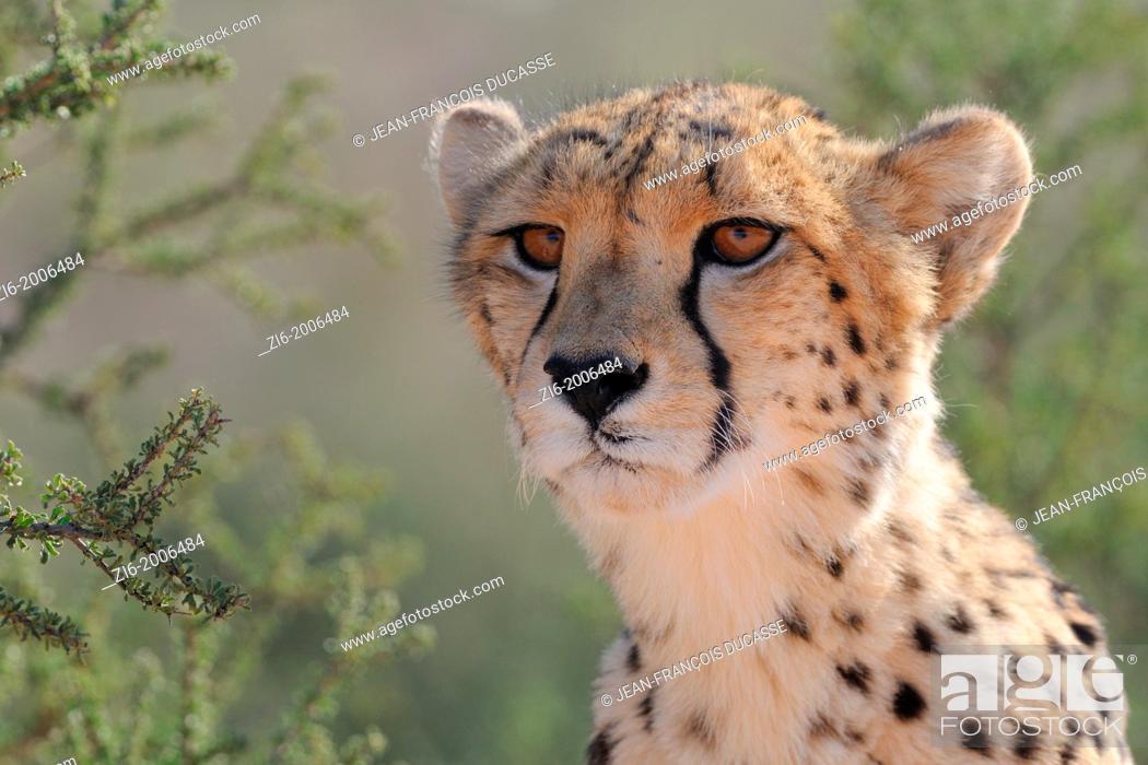 Stock Photo: Cheetah, Acinonyx jubatus, Kgalagadi Transfrontier Park, Northern Cape, South Africa.