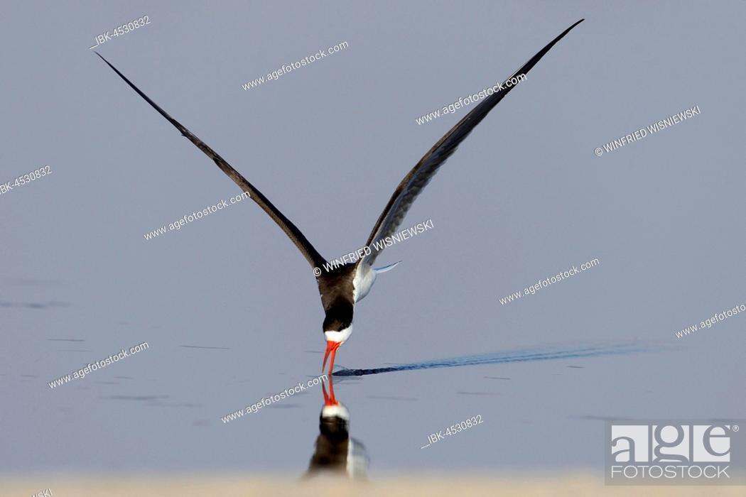 Stock Photo: African skimmer (Rynchops flavirostris), fishing, Chobe River, Chobe National Park, Botswana.