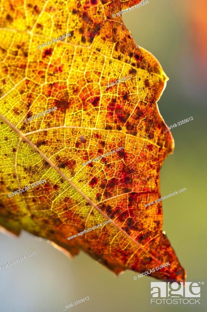 Stock Photo: Vitis vinifera autumn backlight, Extremadura, Spain.
