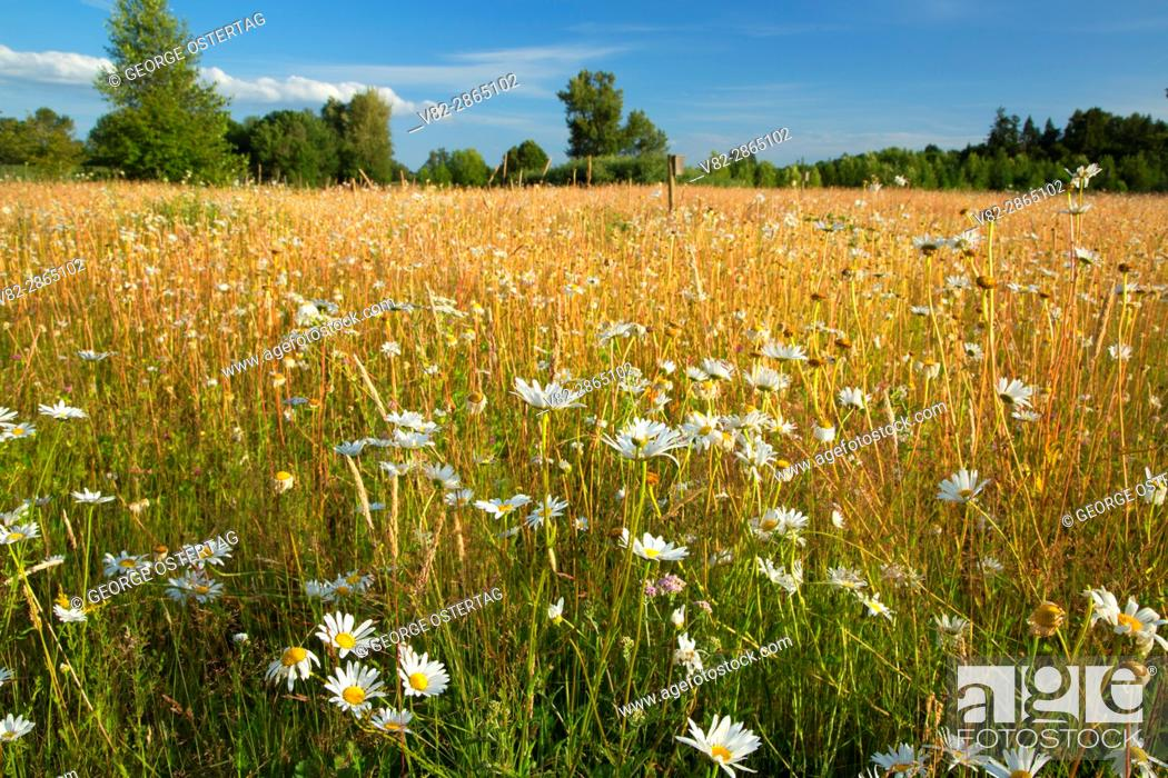 Stock Photo: Daisy meadow, Willamette Mission State Park, Oregon.