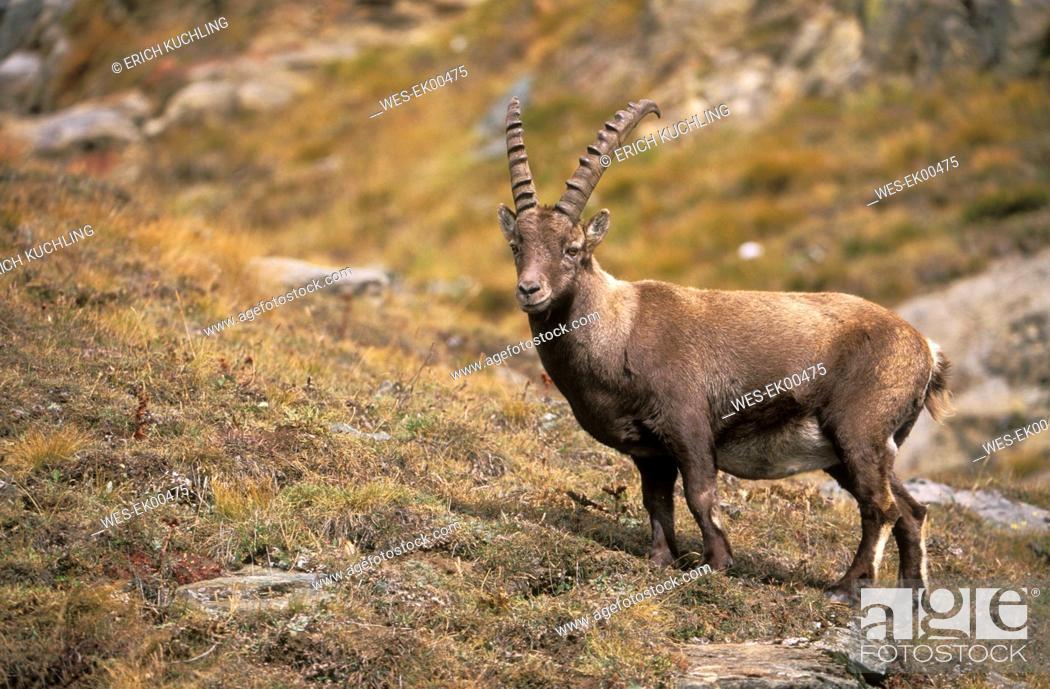 Stock Photo: capra ibex.