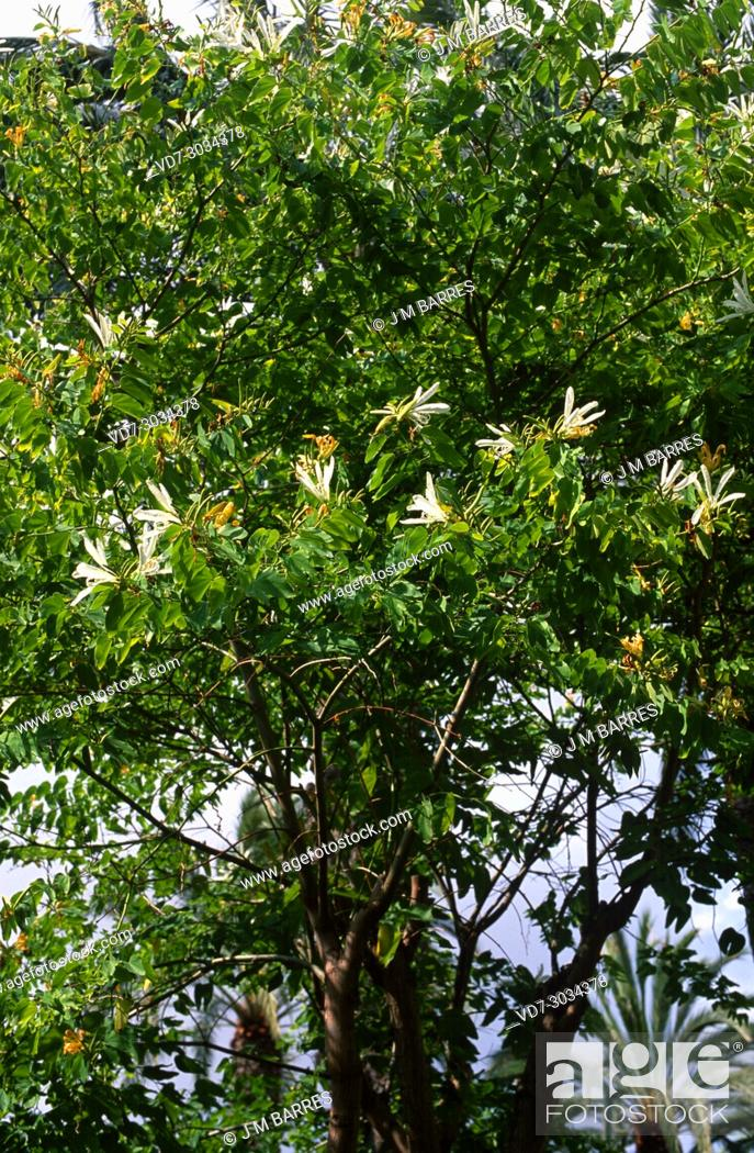 Stock Photo: Orchid tree or mountain ebony (Bauhinia variegata alba) is an ornamental tree native to south Asia.